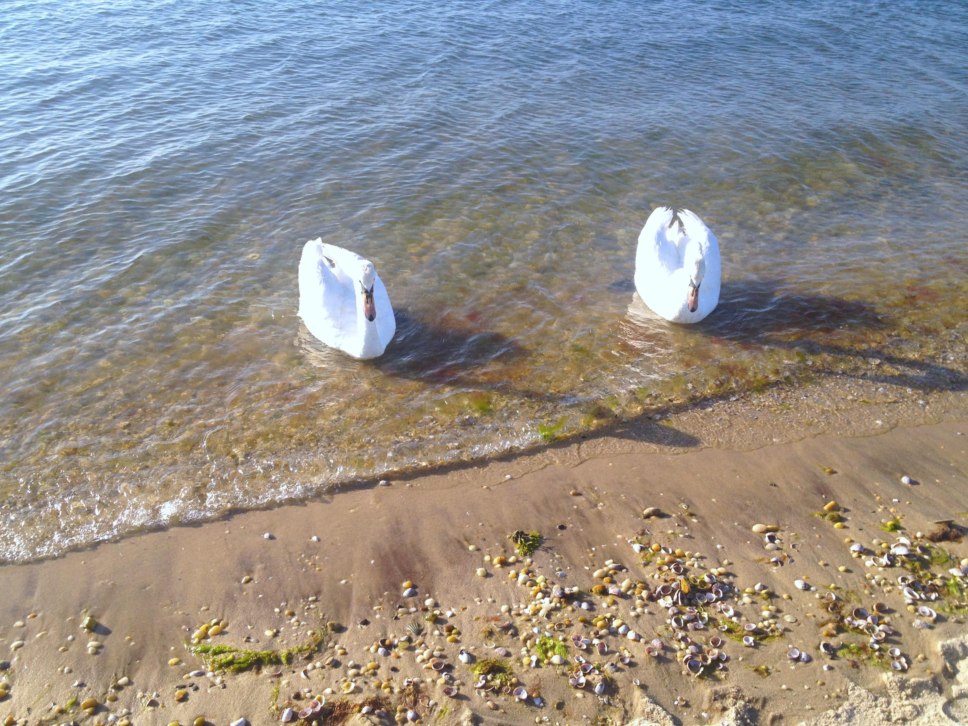 swans_beach